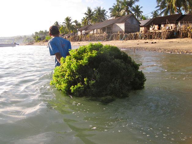 Petani rumput laut, Nusa Penida